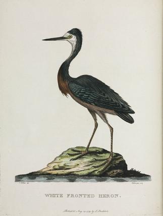 'White Fronted Heron', Australia, c 1788.