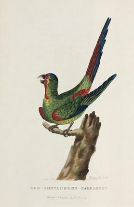 'Red Shouldered Parrakeet', Australia, c 1788.