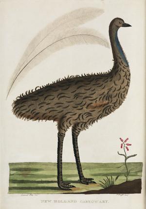 'New Holland Casowary', Australia, c 1788.