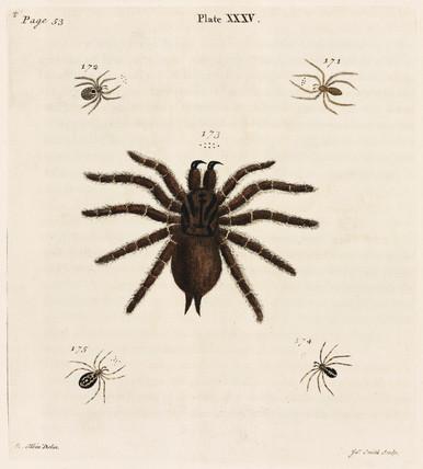 Tarantula, 1736.