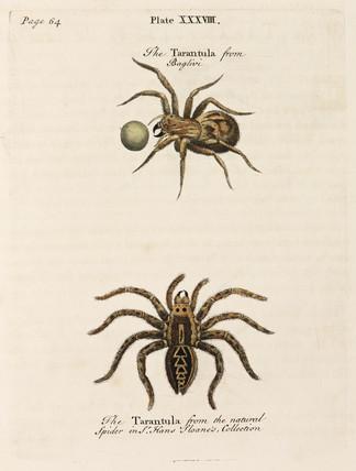 Two tarantulas, 1736.