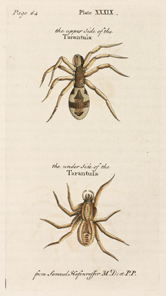 Tarantula from above and below, 1736.