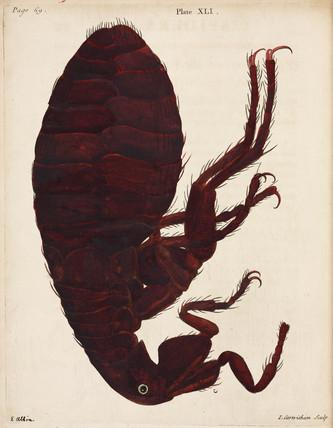 Flea, 1736.