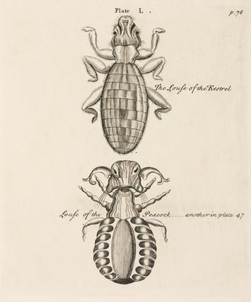 Lice, 1736.