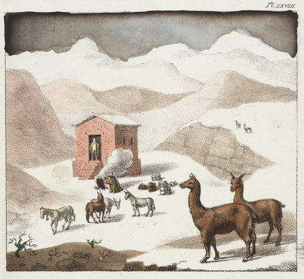 Guanacos, Valley of the Cuevas, Andes mountains, Chile, 1820-1821.