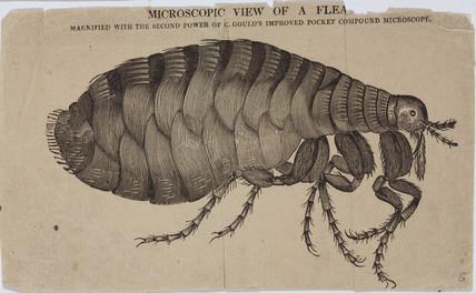 A flea, micrograph, 18th century.