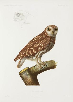 Owl, Algeria, 1840-1842.
