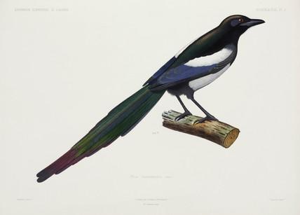 North African magpie, Algeria, 1840-1842.
