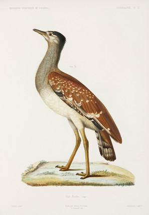 Sudan bustard, Algeria, 1840-1842.