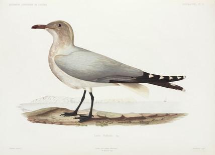 Audouin's Gull, Algeria, 1840-1842.