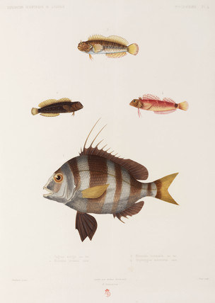 Blennies and seabream, Algeria, 1840-1842.