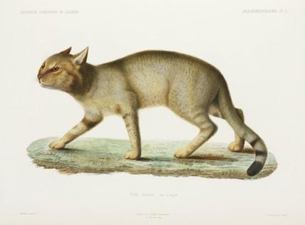 African wild cat, Algeria, 1840-1842.