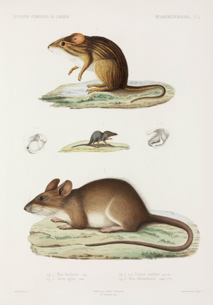 Mouse, shrew, and rat, Algeria, 1840-1842.