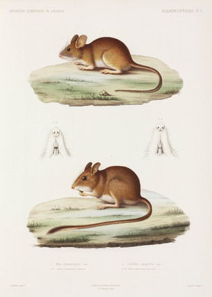 Mouse and Large North African Gerbil, Algeria, 1840-1842.