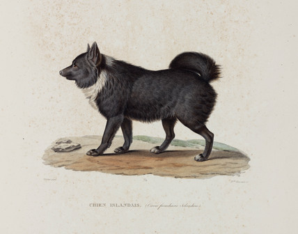 Icelandic dog, early 19th century.