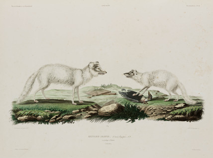 Arctic foxes, Iceland, early 19th century.
