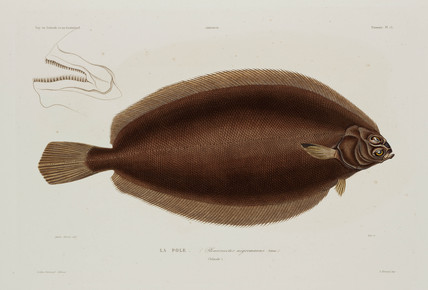 Plaice, Iceland, early 19th century.