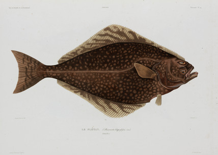 Halibut, Iceland, early 19th century.