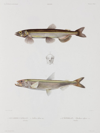 Capelin and smelt, Iceland, early 19th century.