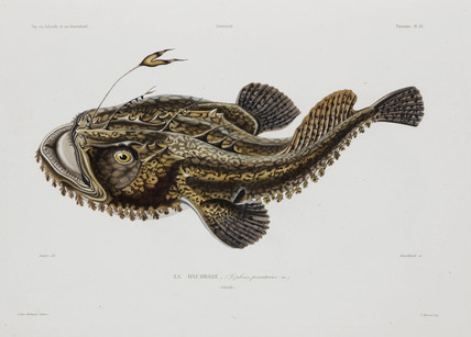 Angler fish, Iceland, early 19th century.
