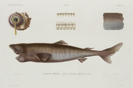 Sleeper shark, Iceland, early 19th century.