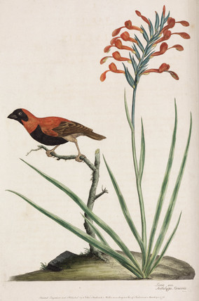 Exotic bird and flower, 1776.