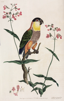 Parrot and flowers, 1776.