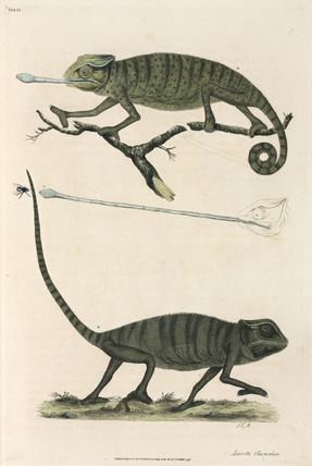 Chameleons, 1776.