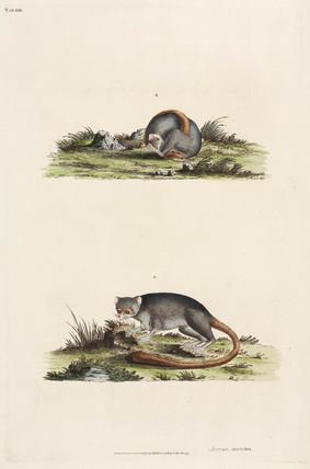 Lemurs, 1777.