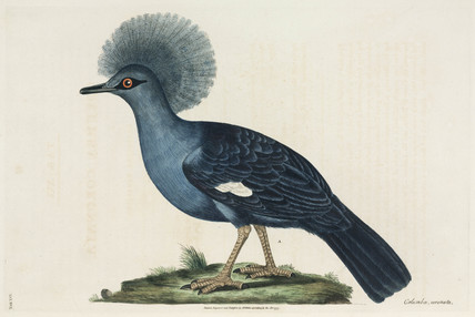 Crested dove, 1776.