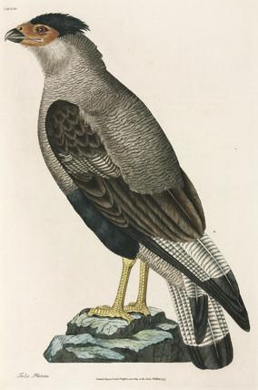 Crested Caracara, 1777.