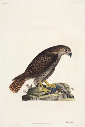 Hawk, 1777.