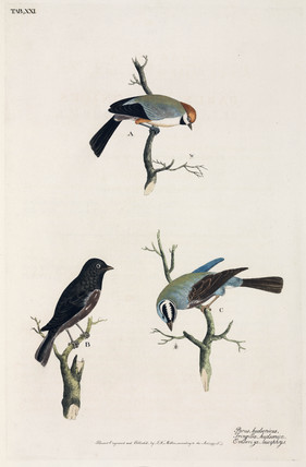 Boreal Chickadee, chaffinch, and White-crowned Bunting, 1777.
