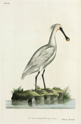 Spoonbill, 1777.