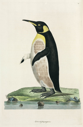 King penguin, 1776.