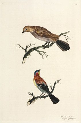 Honey-guide and blue-capped chaffinch, 1776.