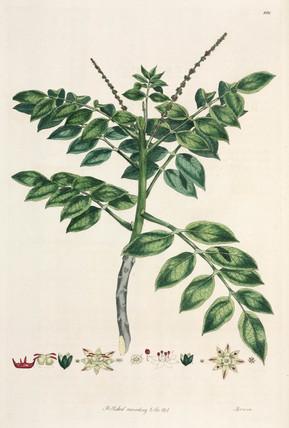 Brucea, 1776.
