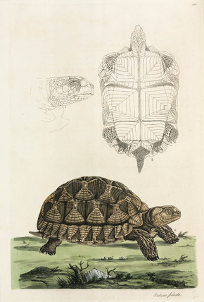 Spurred tortoise, 1776.