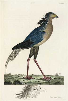 Secretary Bird, 1776.