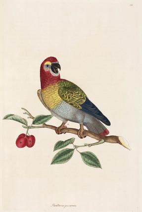 Parrot, 1776.