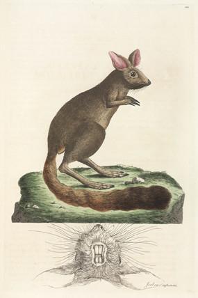 Jerboa, 1776.
