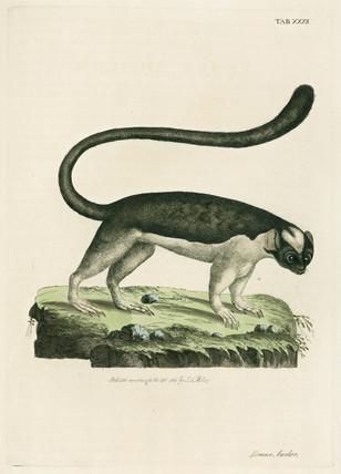 Lemur, 1782.