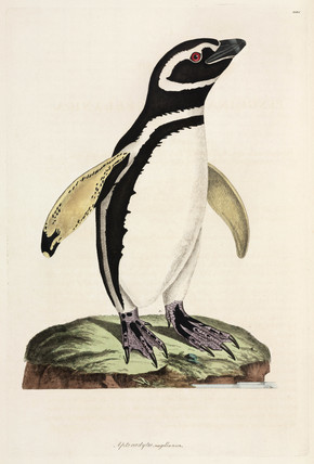 Magellanic Penguin, 1776.