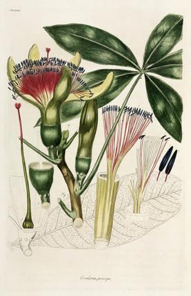 Guiana Chestnut, 1776.