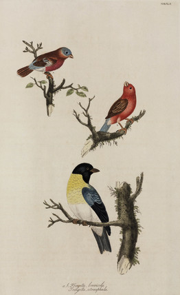 Chaffinches, 1776.