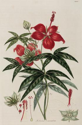 Hibiscus, 1776.