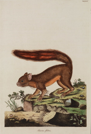 Caucasian squirrel, 1776.