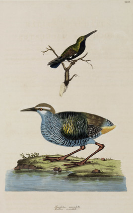 Hummingbird and Tahiti Rail, 1776.