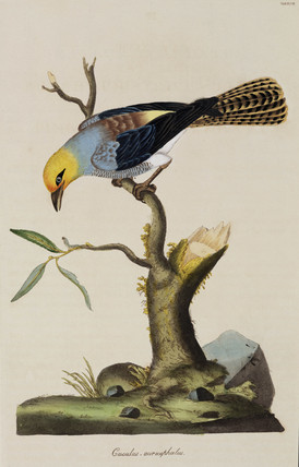 Golden-headed cuckoo, 1776.