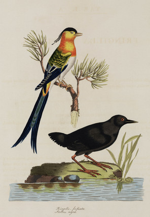 Chaffinch and rail, 1776.